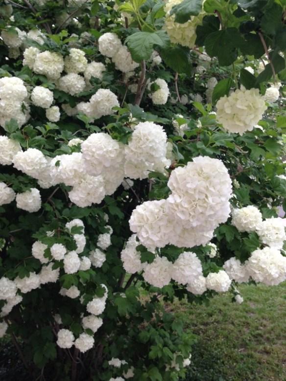 The hydrangea pom pom tree has turned white; so beautiful.