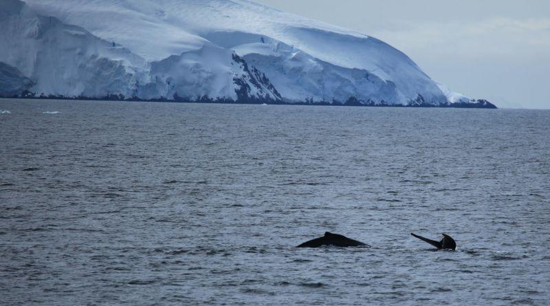 Humpback_Whales_in_the_Gerlache_Strait_Antarctica_(6295486061)