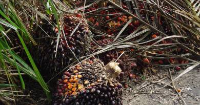 fruit_oil_palm