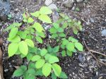 Yellow Spots Rose Bush Leaves