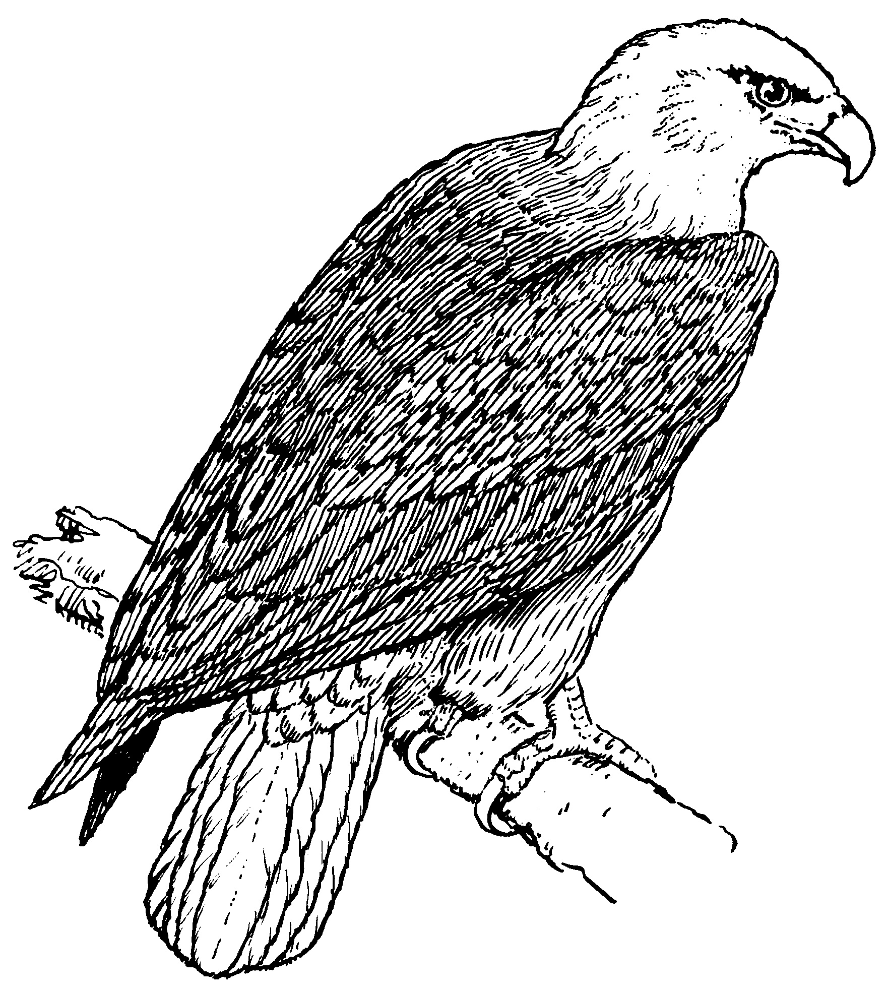 Patriotic eagle coloring pages - Bald Eagle Coloring Page