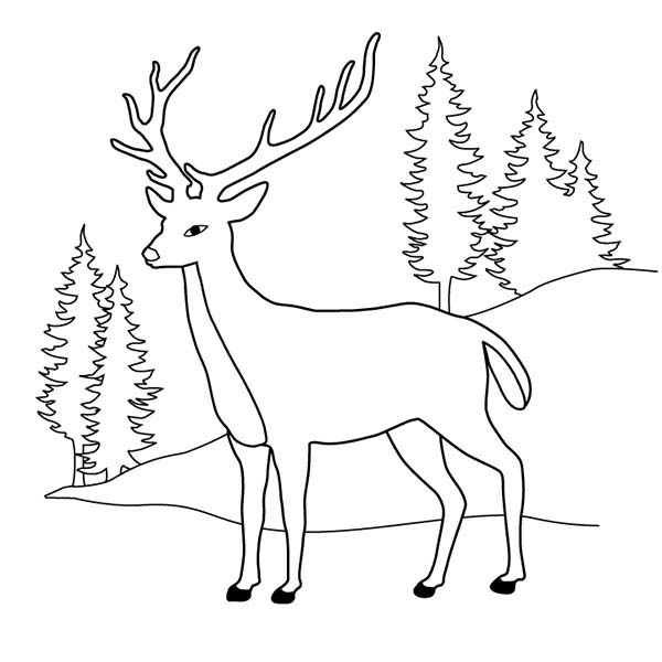 Deer At Pine Forest Coloring Page  Coloring Sun
