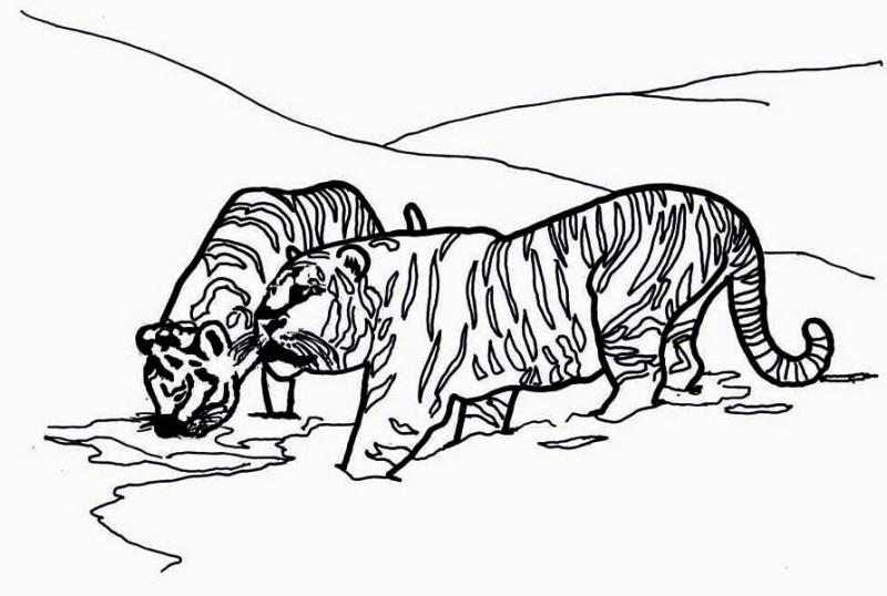 Siberian Tiger Coloring