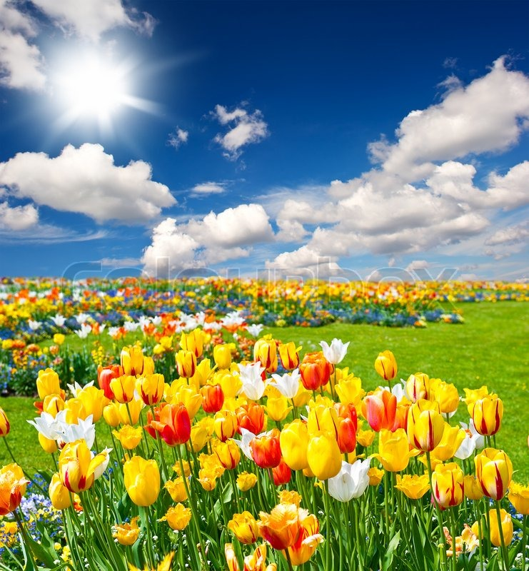 Free Wallpapers Wid Quotes Tulip Flowers Field On Blue Sky Stock Photo Colourbox
