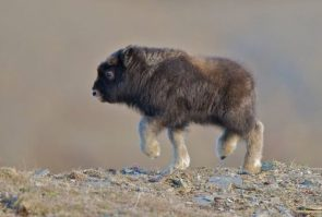 I see your baby camel and raise you a baby musk ox