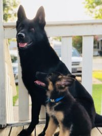 My new puppy admires the heck out of her older brother