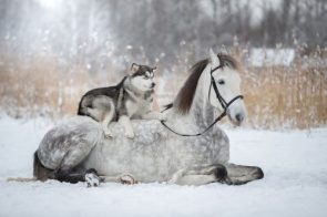 """""""Friendship Between a Horse And Husky"""""""