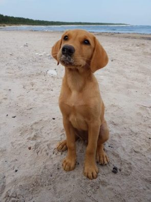 This is my yellow lab Malala at the beach. She is a cute rascal