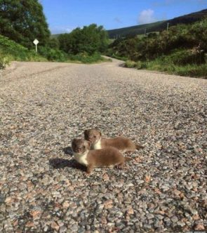 Two baby weasels pose for a photograph