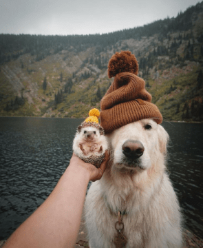 This hedgehog and golden retriever wearing beanies