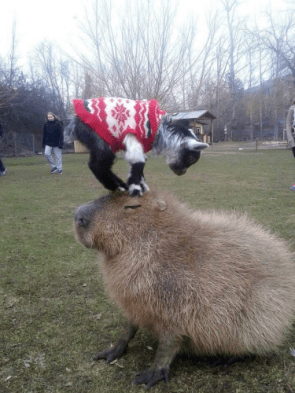 A baby goat, in a sweater, on a capybara.