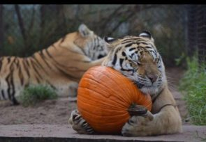 With Halloween coming I thought I'd share another Awwww from the sanctuary! Brie just loves her pumpkin