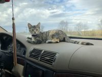 car dash cat