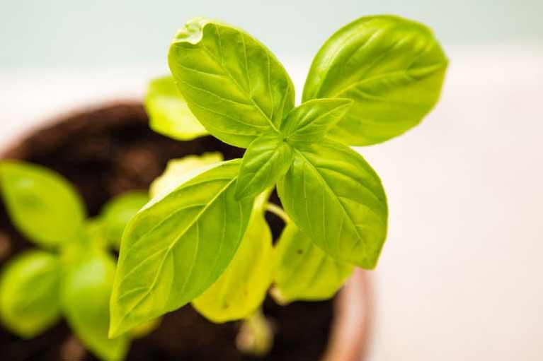 Basil Companion Planting Chart - Companion Planting Chart