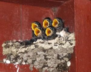 5 Golondrinas en el nido con boca abierta