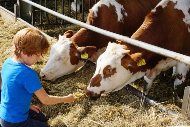 Memberi makan sapi