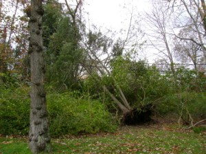 Hurricane Sandy uprooted this tree and sent it tangling with an electric line.
