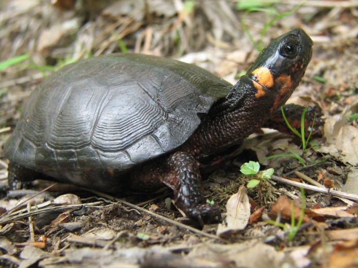 Bog Turtle photo by Brian Zarate, NJ Division of Fish and Wildlife