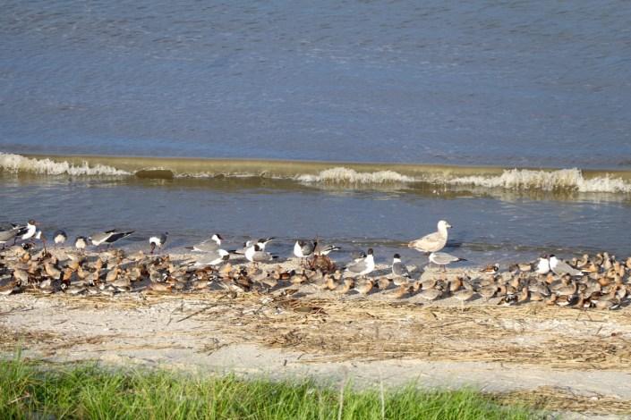 Shorebirds and no horseshoe crabs along the Bay.
