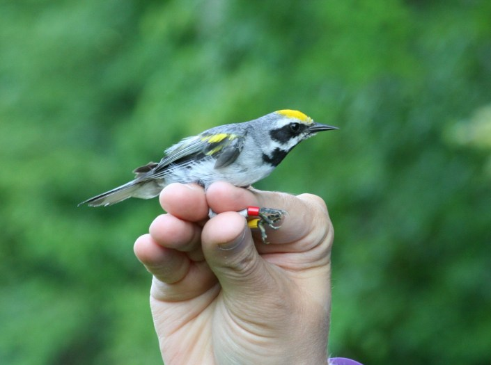 A male golden-winged warbler. Photo by Kelly Triece.
