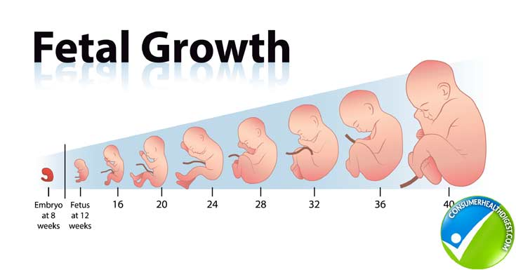 fetus size chart - Mendicharlasmotivacionales