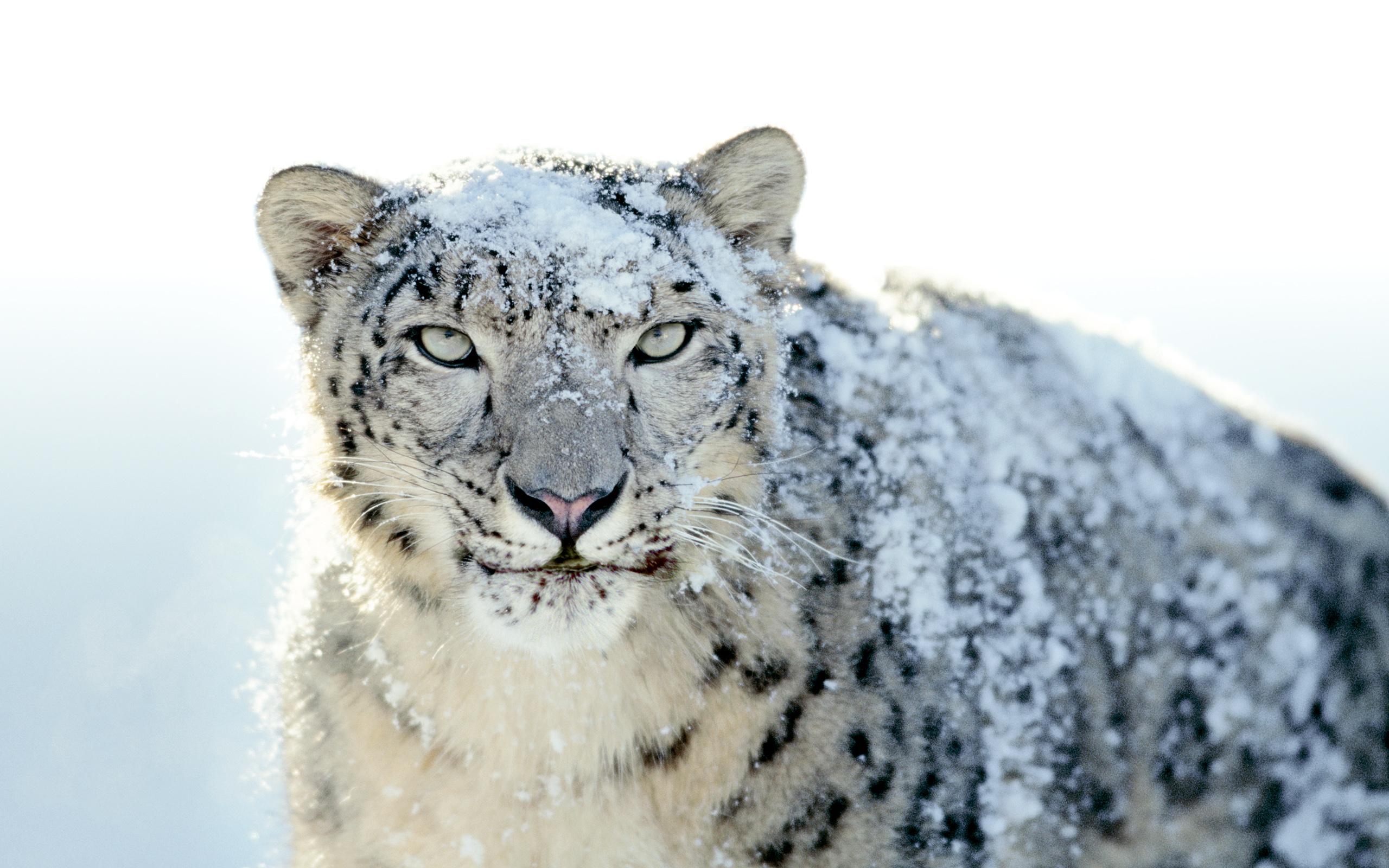 Endangered: Aspyr to Discontinue Support for Snow Leopard