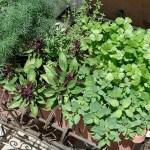 Grow a Kitchen Herb Garden to Save Money