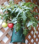 The Tomato Maker