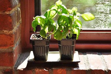 Grow Basil Indoors During The Winter | Www.Coolgarden.Me
