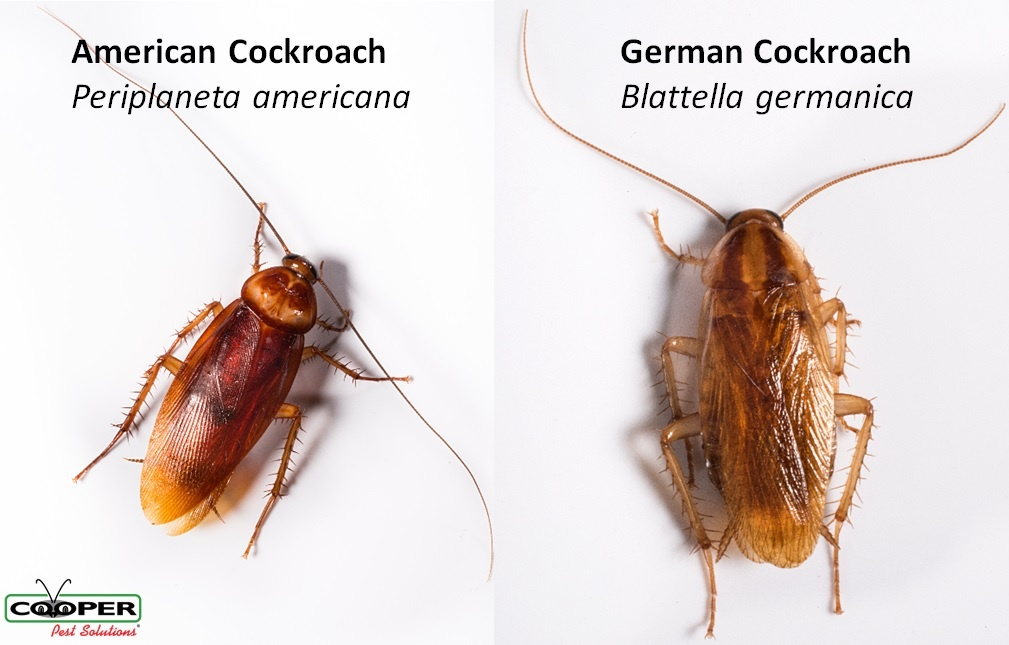 American Cockroaches vs German Cockroaches What\u0027s the Difference?