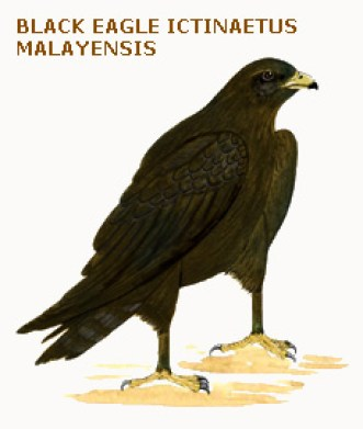 038b black eagle ictinaetus malayensis