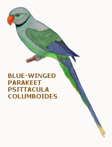 094 blue-winged parakeet psittacula columboides
