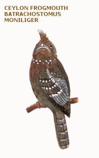 117 ceylon frogmouth batrachostomus moniliger