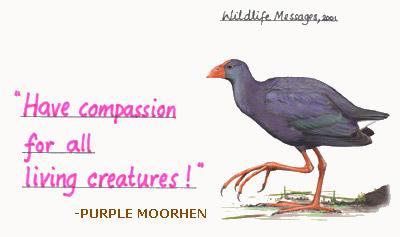 purple moorhen