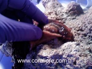 Bubble Tip Anemone Propagation Corallorecom