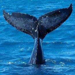 20060103 - AUSTRALIA - CRO -  BALENE: 60 SCIENZIATI IN SPEDIZIONE PER REGISTRARNE IL CANTOINTANTO GREENPEACE ESULTA, PEDINIAMO FLOTTA GIAPPONESE. L'immersione di una balena in una foto del 31 luglio 2004 in Australia.  Mentre la flotta baleniera giapponese continua la sua caccia 'scientifica' di oltre 930 balene 'minke', o balenottere minori, ostacolata dalle navi di Greenpeace, un folto gruppo di ricercatori e' salpato dall'Australia occidentale per studiare la stessa specie di cetacei, e registrarne per la prima volta il canto.    DAVE HUNT AUSTRALIA AND NEW ZEALAND OUT    ANSA-CD