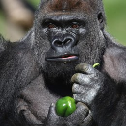 Fra i Gorilla di Montagna,  i nostri enormi cugini