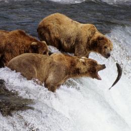 """L'infinita fame del Grizzly  Così """"prende al volo"""" i salmoni"""