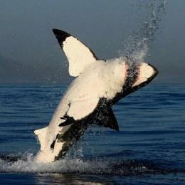 L'enorme squalo bianco  all'attacco di una foca
