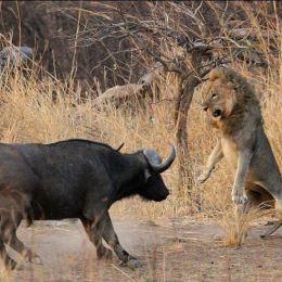 L'Africa crudele e coraggiosa:  il branco, l'amore e la vita