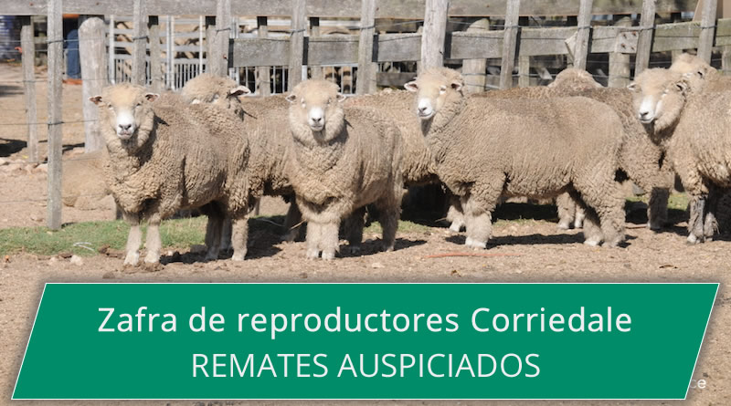 Zafra Reproductores Corriedale 2016