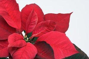 La típica planta de Navidad (Flor de Pascua o Poisentia) es tóxica para gatos