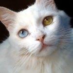 Los gatos que tienen un ojo de cada color son llamados gatos de ojos dispares | Foto: esteljf.deviantart.com