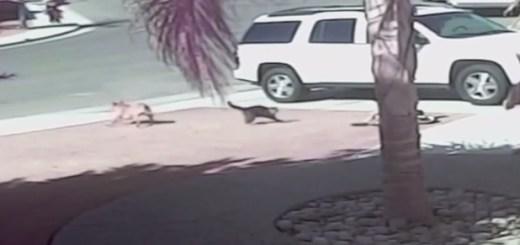 Vídeo del gato que salva al niño de un perro
