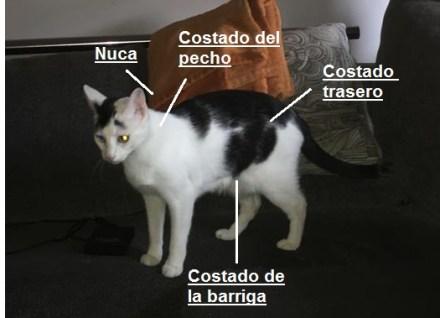 zonas inyectables. www.cosasdegatos.es