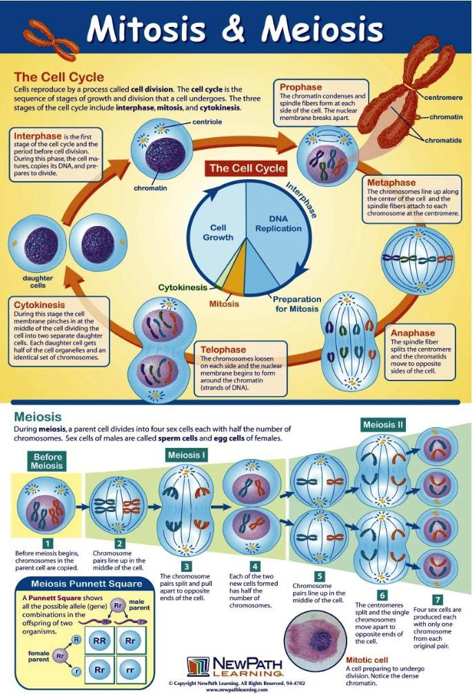Mitosis and Meiosis More Genetics Pinterest School, Homeschool u2026 - p & l template