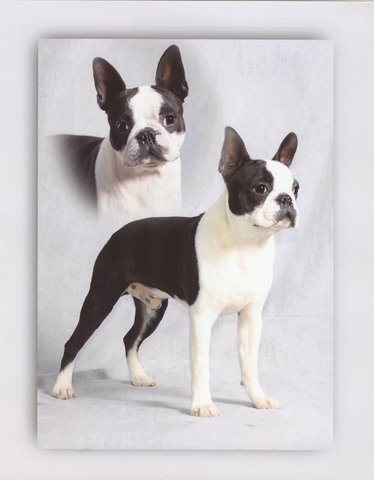 Image For Circle J Boston Terriers