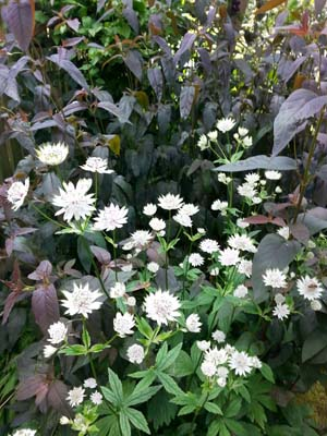 Astrantia and lysimachia