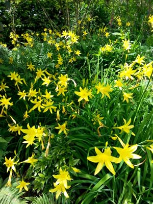 Hemerocallis and Dryopteris