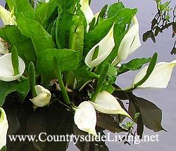 Лизихитон камчатский (Lysichiton camtschatcense) - весенний первоцвет